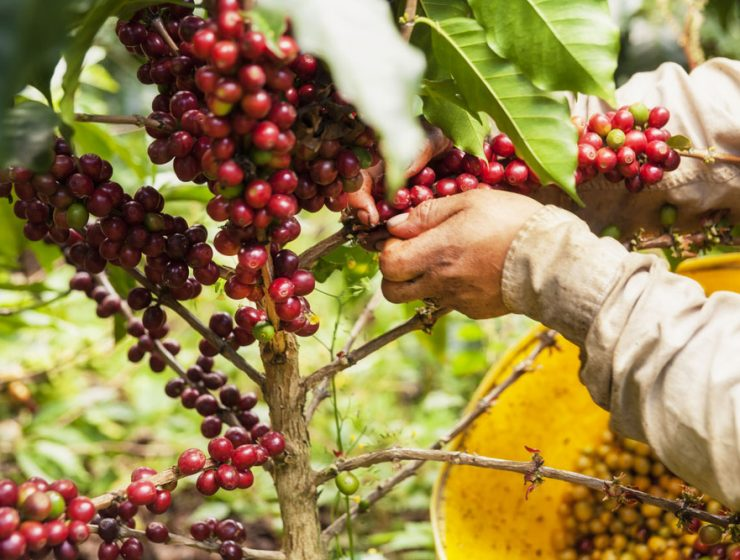 Kahve Bitkisi Kolombia