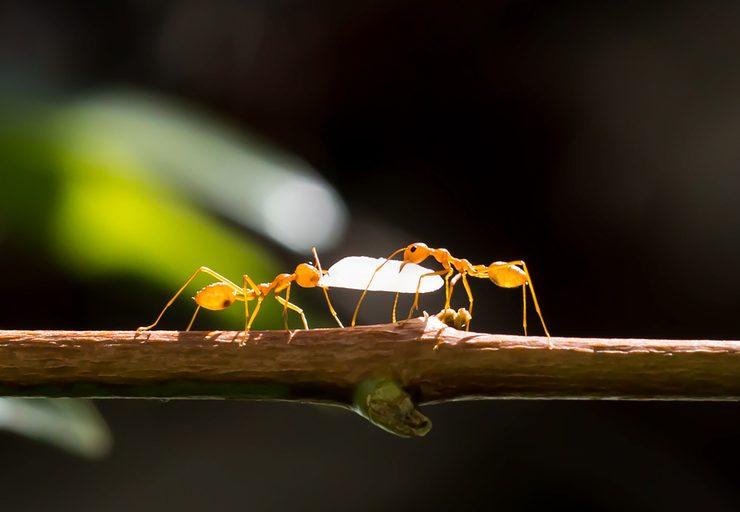 karınca, kahve ağacı