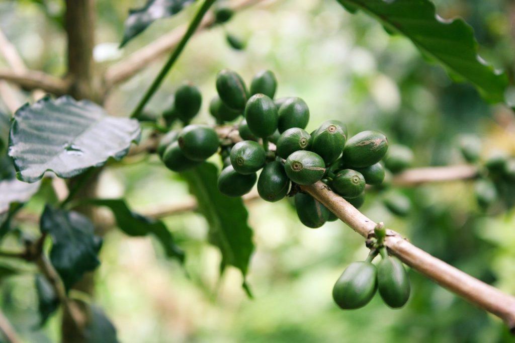 yeşil kahve nasıl yapılır, yetişmekte olan yeşil kahve